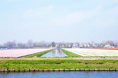 Tulip fields in a dutch landscape in Netherlands Royalty Free Stock Image