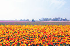 Tulip fields in a dutch landscape in Netherlands Stock Photos