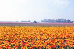 Tulip fields in a dutch landscape in Netherlands Stock Photos