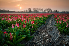 The Tulip fields in the evening Light. The Tulipfields of Lisse, the Netherlands Royalty Free Stock Photography
