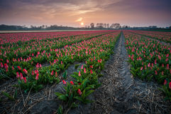The Tulip fields in the evening Light. The Tulipfields of Lisse, the Netherlands Royalty Free Stock Photos