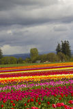 Tulip Fields. Field of colorful tulips at the tulip festival Stock Photo