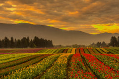 Tulip Fields. Golden Hour Field at Chadsey Road Chilliwack BC Royalty Free Stock Photo