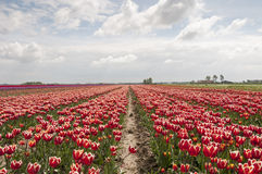 Tulip fields in holland Royalty Free Stock Photography