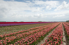Tulip fields in holland Royalty Free Stock Photos