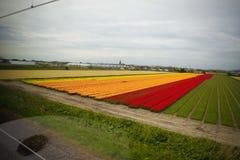 Tulip Fields i Amsterdam Royaltyfri Foto