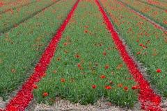 Tulip fields in Keukenhof Royalty Free Stock Image