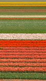 Tulip fields in Keukenhof Stock Photography