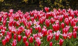 Tulip Fields Keukenhoff Lisse Holland blanche rouge Pays-Bas image stock