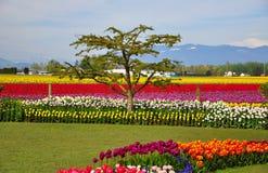 Tulip Fields med berg i bakgrund Fotografering för Bildbyråer