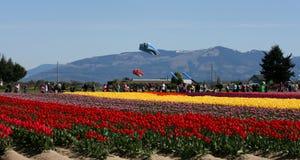 Tulip Fields Mehrfarbige Streifen von Blumen Stockbild