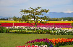 Tulip Fields with mountains in background Stock Image