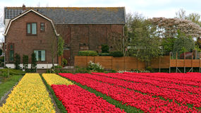 Tulip Fields Multicolored With A Dutch House Royalty Free Stock Photography