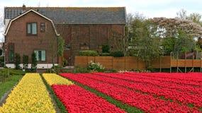 Tulip Fields Multicolored With ein niederländisches Haus Lizenzfreie Stockfotografie