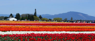 Tulip fields. Multicolored stripes of flowers. Royalty Free Stock Image