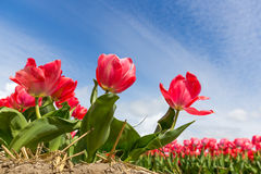 Tulip fields near Amsterdam Royalty Free Stock Images