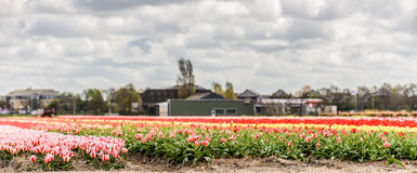 Tulip fields. Royalty Free Stock Images