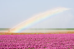 Tulip fields in the Netherlands with a rainbowe royalty free stock image