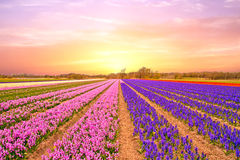 Tulip fields in the Netherlands in spring at sunset Royalty Free Stock Images