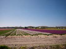 Tulip fields and other flowers Stock Photos