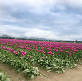 Tulip Fields Royalty Free Stock Photo