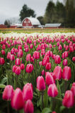 Tulip Fields in the Skagit Valley. Royalty Free Stock Images