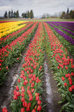 Tulip Fields in the Skagit Valley, Washington State. A sure sign of spring is the emergence of the colorful tulips in the Skagit Valley of Western Washington Stock Photos