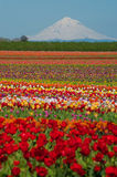 Tulip fields, snow-covered mountain Royalty Free Stock Image