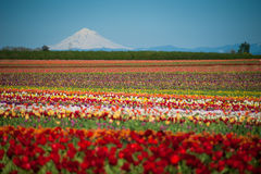 Tulip fields, snow-covered mountain Stock Images