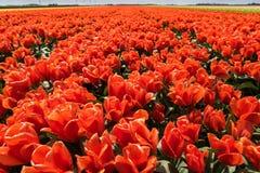 Tulip fields in springtime Stock Image