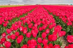 Tulip fields in springtime Royalty Free Stock Photo