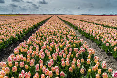 Tulip fields in springtime Stock Photos