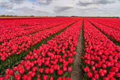 Tulip fields in springtime Royalty Free Stock Image