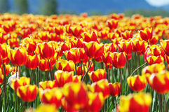 Tulip fields in summer Stock Photography