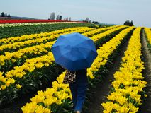 Tulip Fields Valley Festival Figure com guarda-chuva fotografia de stock royalty free