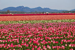 Tulip Fields vicino al Mt Vernon, Washington Fotografia Stock Libera da Diritti