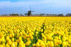 Tulip fields and windmill in Holland, Netherlands. Stock Images