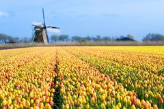 Tulip fields and windmill in Holland, Netherlands. Stock Photos