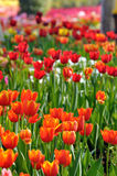 Tulip on filed Stock Images
