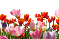 Tulip on filed Royalty Free Stock Photography