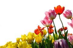 Tulip on filed Royalty Free Stock Photos