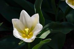 Tulip Final de marfil Imagen de archivo libre de regalías