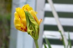 Tulip Flame Ball med blommaknopp 01 Royaltyfria Bilder