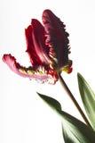 Tulip Flaming Parrot, close-up royalty-vrije stock foto's