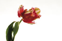 Tulip Flaming Parrot, close-up Stock Images