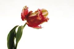 Tulip Flaming Parrot, close-up stock afbeeldingen