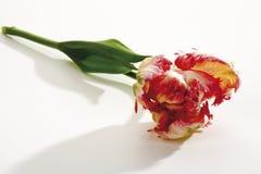 Tulip Flaming Parrot närbild Royaltyfria Bilder