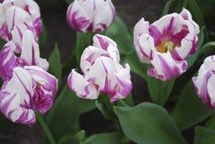 Tulip Flaming Prince Triumph Group in het park wordt gekweekt dat stock foto's