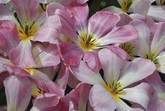 Tulip Flaming Purissisma Fosteriana Group-het bloeien stock afbeelding