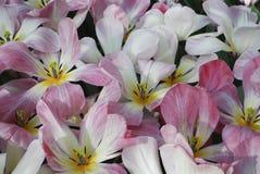 Tulip Flaming Purissisma Fosteriana Group-het bloeien stock foto's